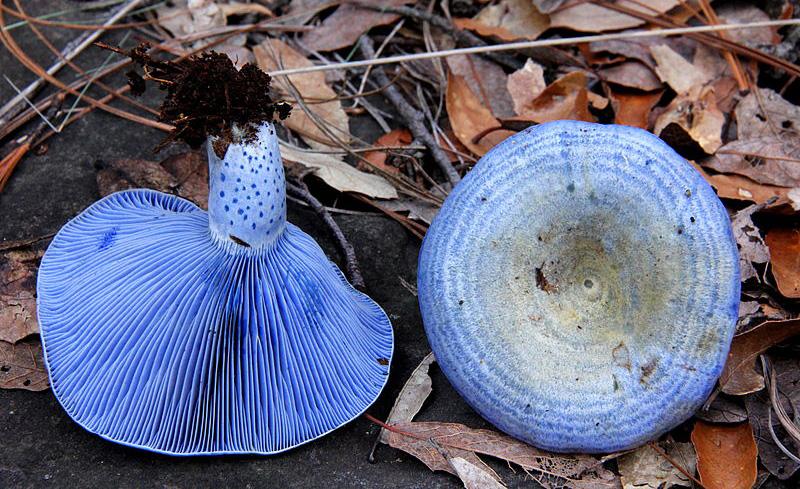 Млечник голубой (его цвет определяет присутствие гвайзулена)